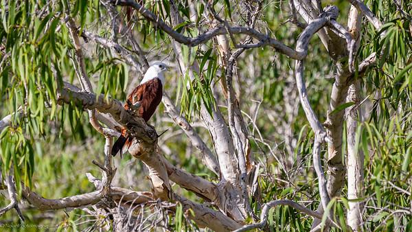Brahminy Kite profile in the Australian Bush