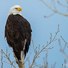 Bald Eagle in the Spring Breeze