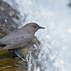 Dipper at the Edge of Turbulent Water
