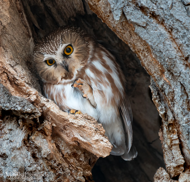 Northern Saw-Whet Owl  With an Itch