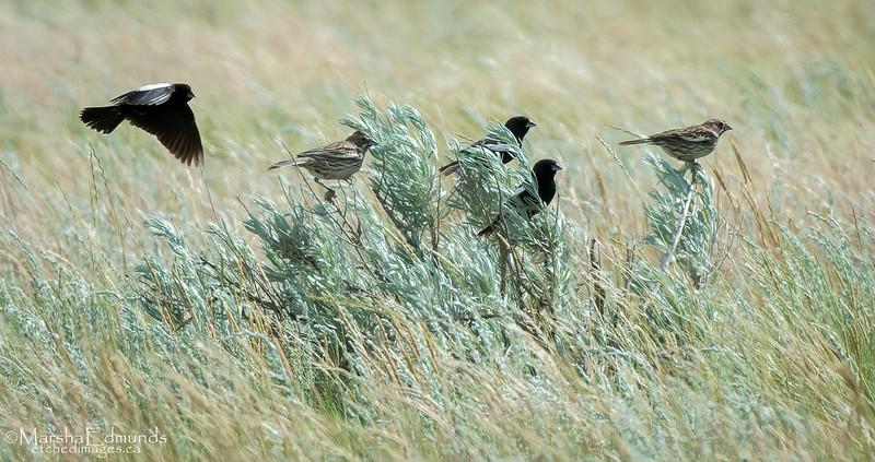 Lark Buntings on the Prairie