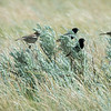 Lark Buntings on the Prairie