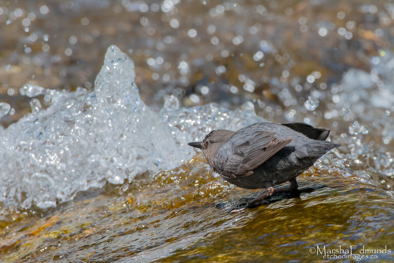 Dipper at the Water's Edge of a Small Waterfall