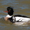 Red-Breasted Merganser Male