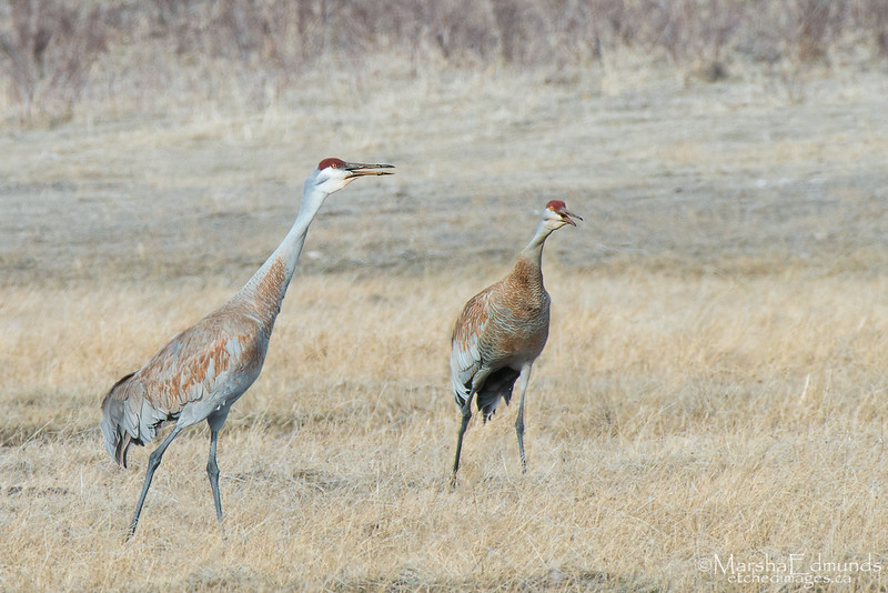 Sandhill Cranes Warding Off a Threat