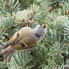 A Peek at the Colorful Back of the Golden-crowned Kinglet
