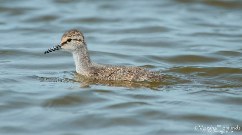 Young Willet