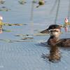Ruddy Duck - Duckling