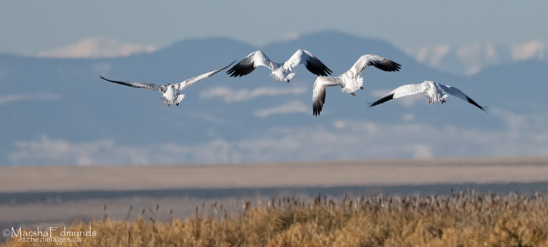 Snow Geese Close to the Rockies