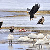 Bald Eagles and Tundra Swans in Klamath Wildlife Refuge. Winter snow.