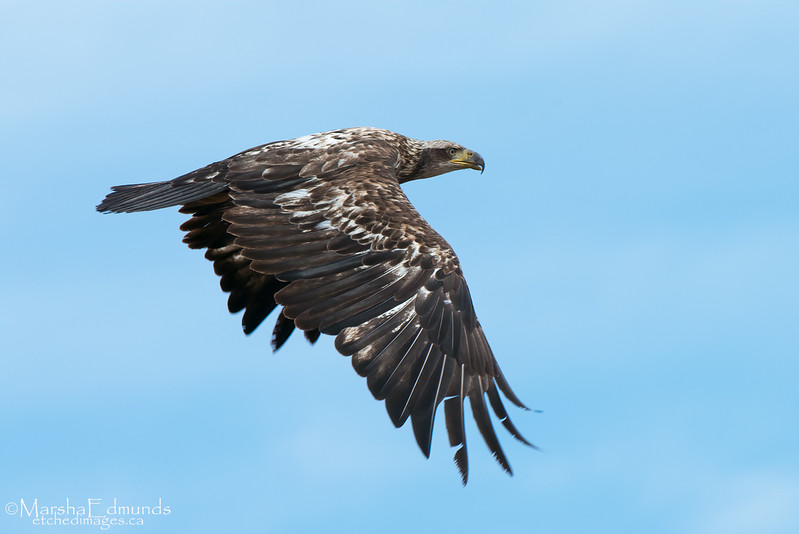 Immature Bald Eagle Fly-By