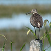 Willet Willing to Chat