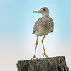 Upland Sandpiper At Sunset