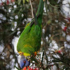 Rainbow Lorikeet Eating Blossoms of Bottle Brush Tree