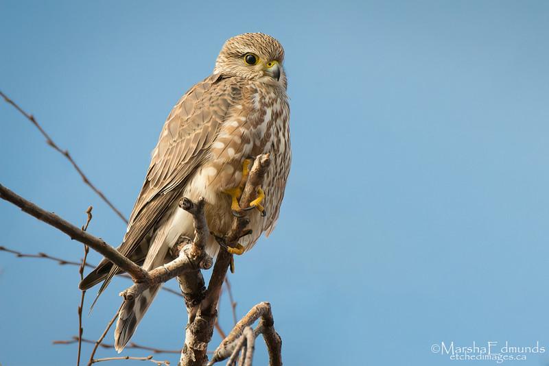 Merlin - A Small Falcon