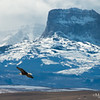 Bald Eagle with Old Chief Mountain Backdrop