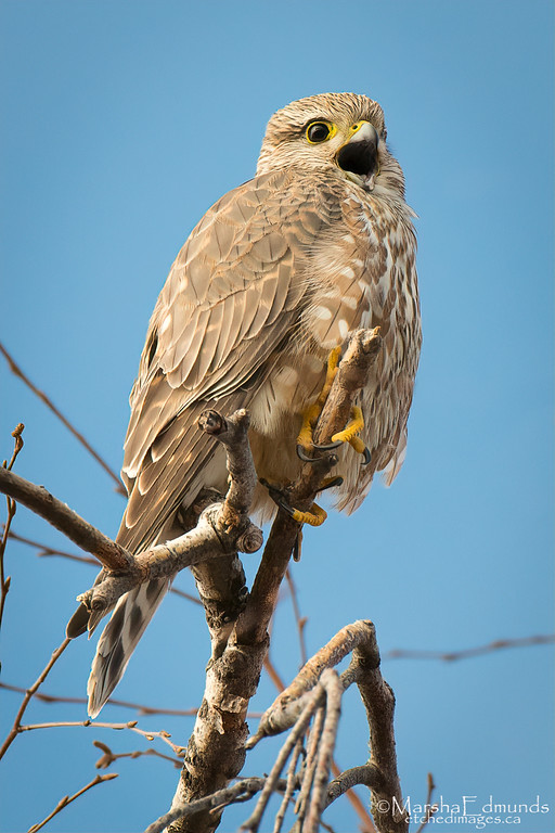 The Screech of the Merlin
