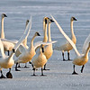 Tundra Swans in Klamath National Wildlife Refuge. Winter snow.