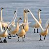 Tundra Swans in Klamath National Wildlife Refuge. Winter snow.