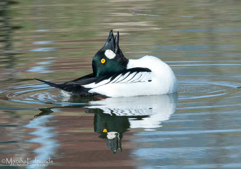 Common Goldeneye Courting