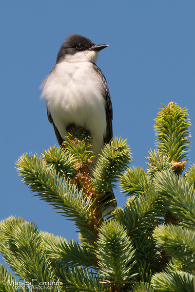 Eastern Kingbird Perched With a View During Nesting