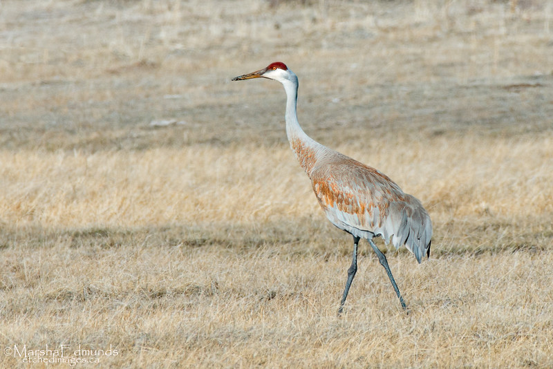 Sandhill Crane Feeding in a Wetland