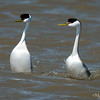 Mating Ritual of the Western Grebe 5