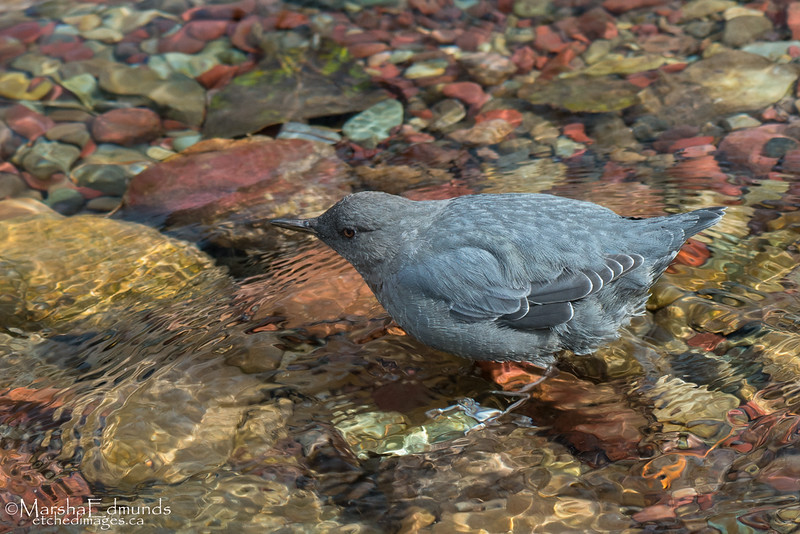 American Dipper Fishing in Colorful Glacial Creek