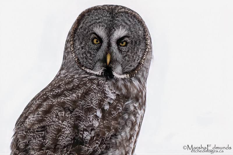 An Intent Great Gray Owl