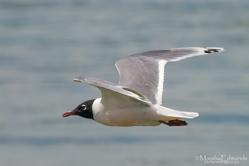 Franklin Gull Surfing the Air Currents