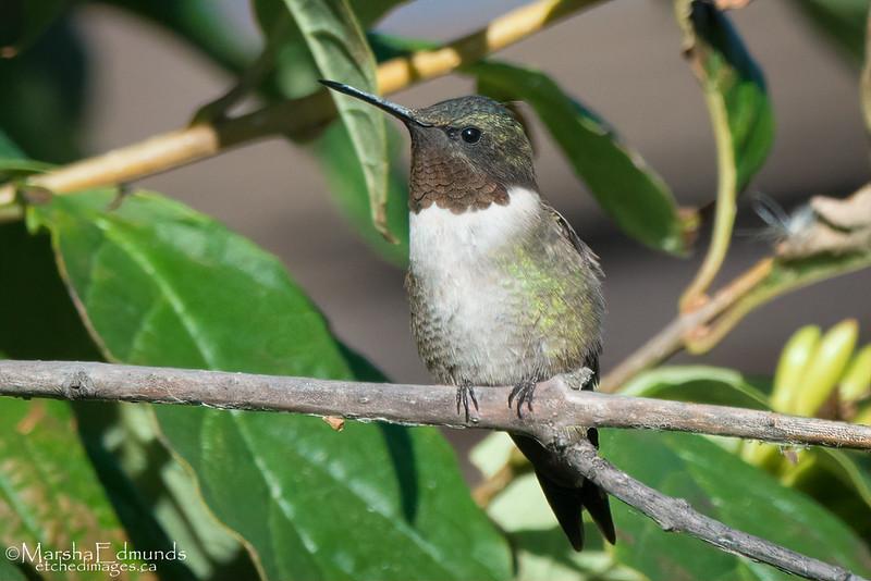 Ruby-Throated Hummingbird -Male