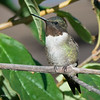 Ruby-Throated Hummingbird -Male