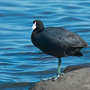 American Coot Showing off Unique Characteristics