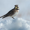 Horned Lark Basking in the Sun of a Warm Spring Day