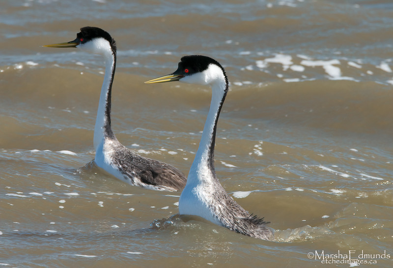 Western Grebes Start Pushing or Water Ballet