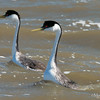 Western Grebes Starting Pushing or Water Ballet