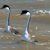 Western Grebes Starting Pushing or Water Ballet