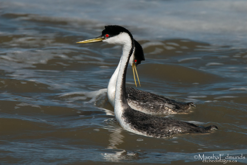 Mating Ritual of the Western Grebe 3