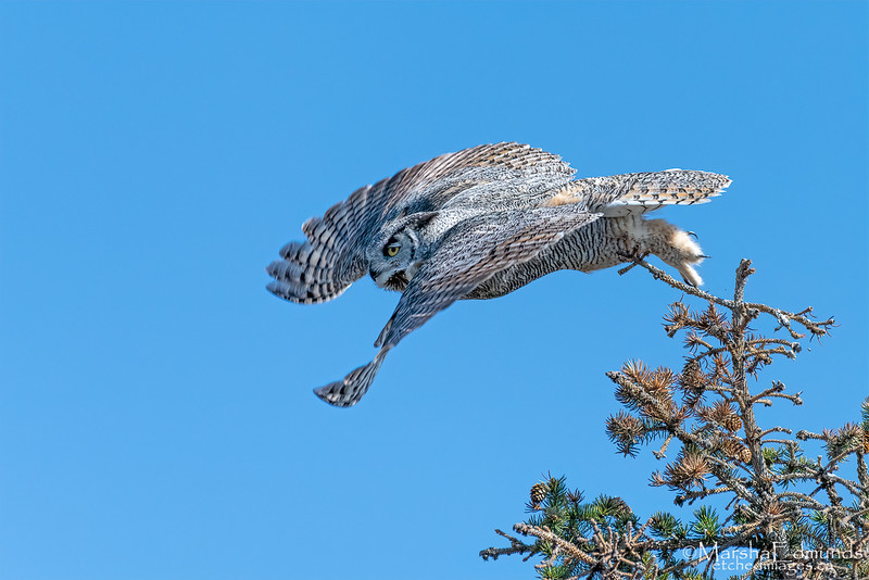 Swooping Down from the Tree Top