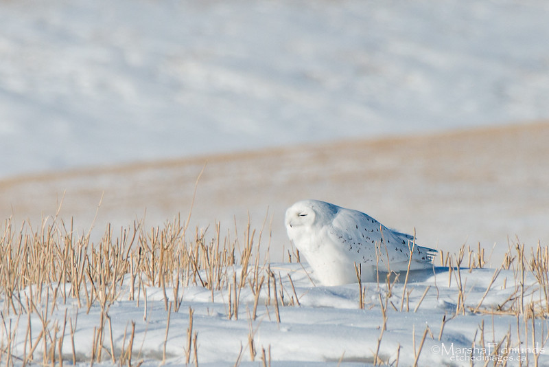 Soaking Up Warmth from the Sun - Male Snowy Owl