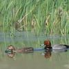 Read Head Duck Couple