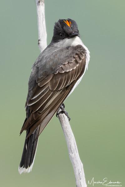 Eastern King Bird Display
