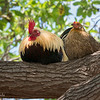 Junglefowl Pair