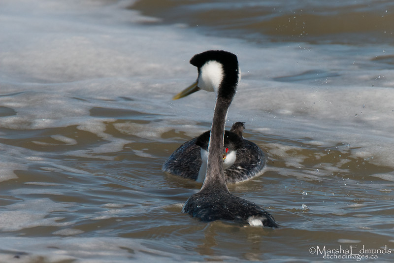 Mating Ritual of the Western Grebe 2