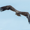 Coming Right Toward the Camera - Immature Bald Eagle