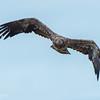 Coming Right Toward the Camera - Immature Bald Eagle