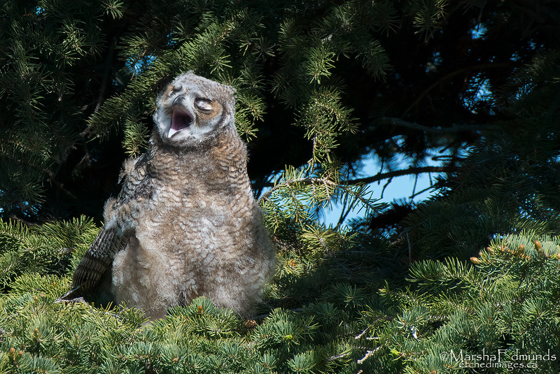 Big Yawn - Great Horned Owlet