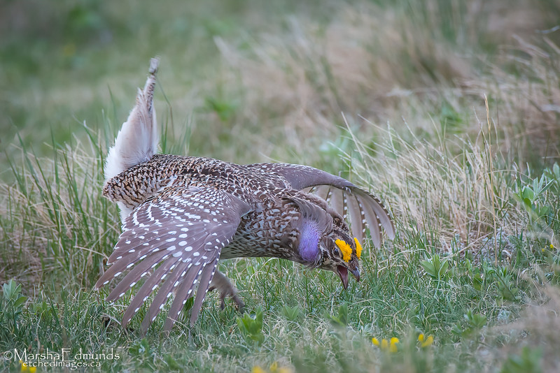 Sharp-Tailed Grouse Mating Ritual Dance