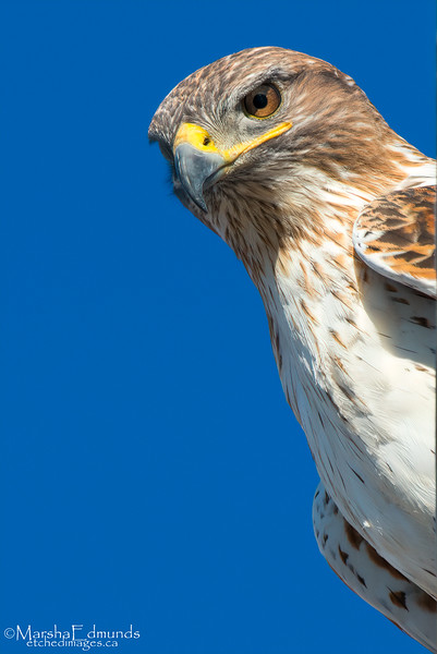 Portrait of a Raptor - Ferruginous Hawk
