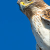 Portrait of a Raptor - Ferruginous Hawk
